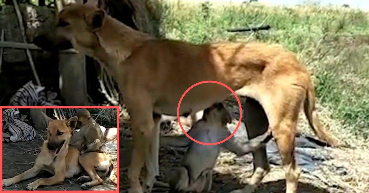 d5 5.png?resize=300,169 - Une chienne a sauvé un bébé singe dans un village et l'adopté plus tard comme son enfant non biologique