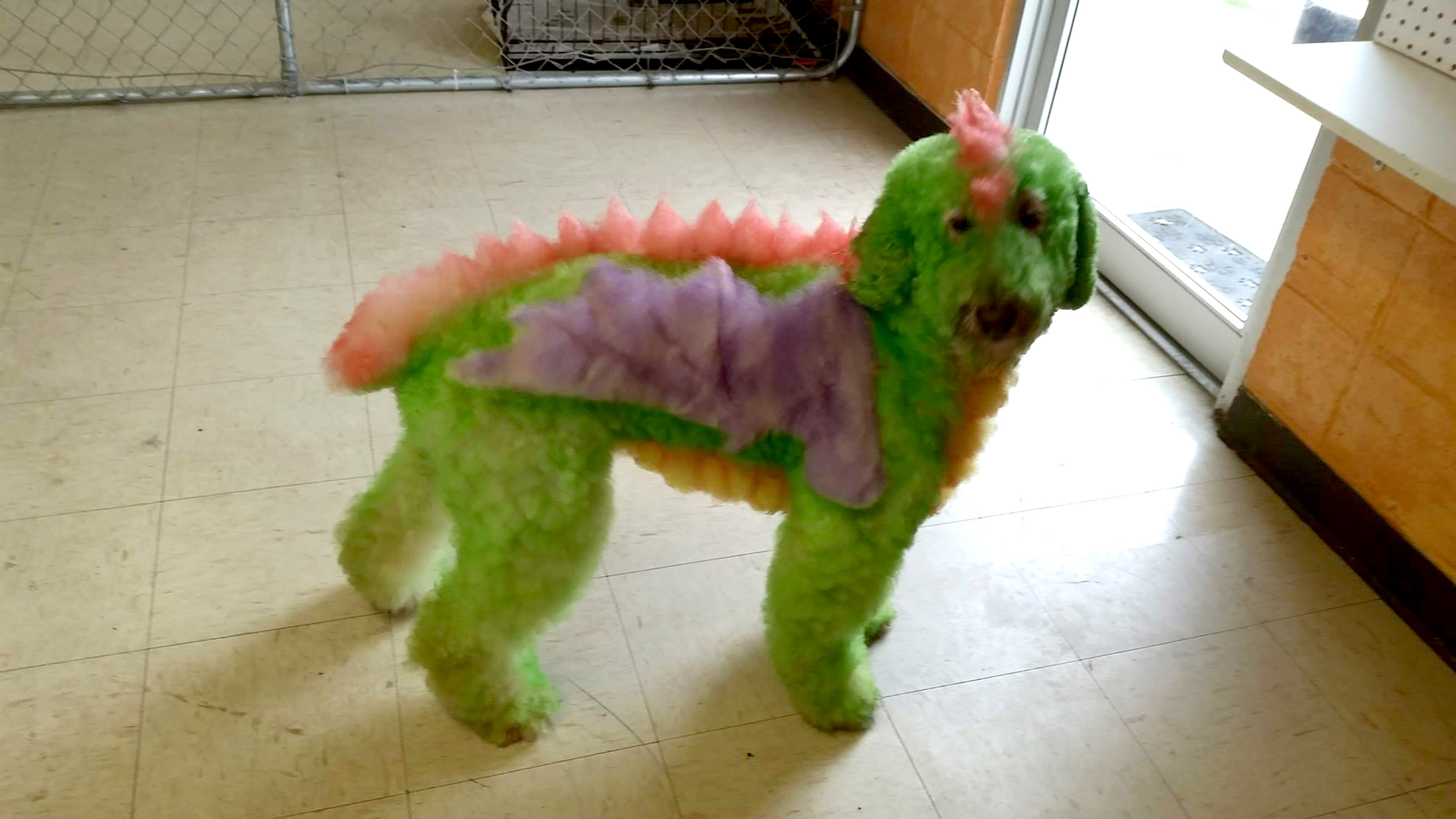Bijou has previously been a dragon, a peacock and a horse. Credit: Caters