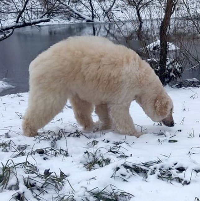 Image result for Groomer Transforms Dog Into Very Realistic-Looking Polar Bear