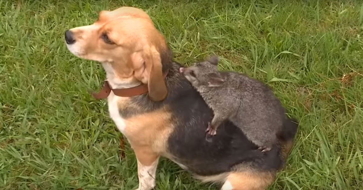 dog possum friends.jpg?resize=412,232 - Dog Who Lost Her Pups And A Possum Who Was Abandoned By Her Mother Are Now Best Of Friends