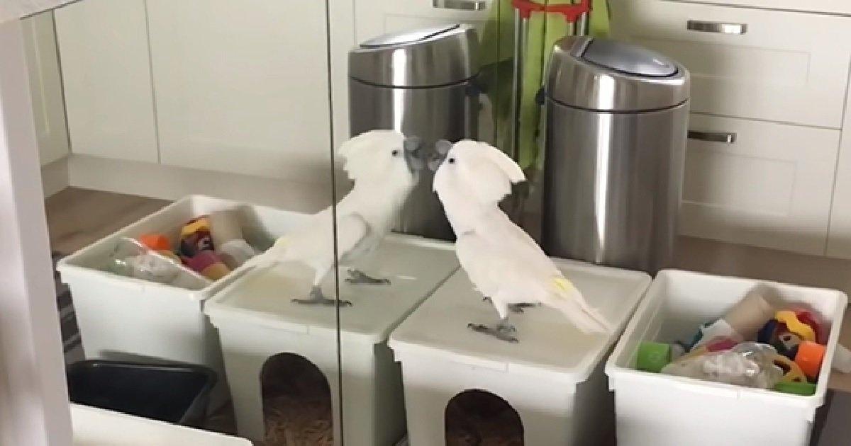 """ec8db84 7.jpg?resize=300,169 - """"거울아~ 거울아~ 이 세상에서 가장 멋진 앵무새는 누구니?"""" (영상)"""