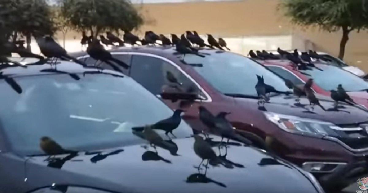 ec8db8eb84a4ec9dbc1 2.jpg?resize=412,232 - 수백 마리 까마귀 떼가 습격한 '충격과 공포'의 주차장 모습 (영상)