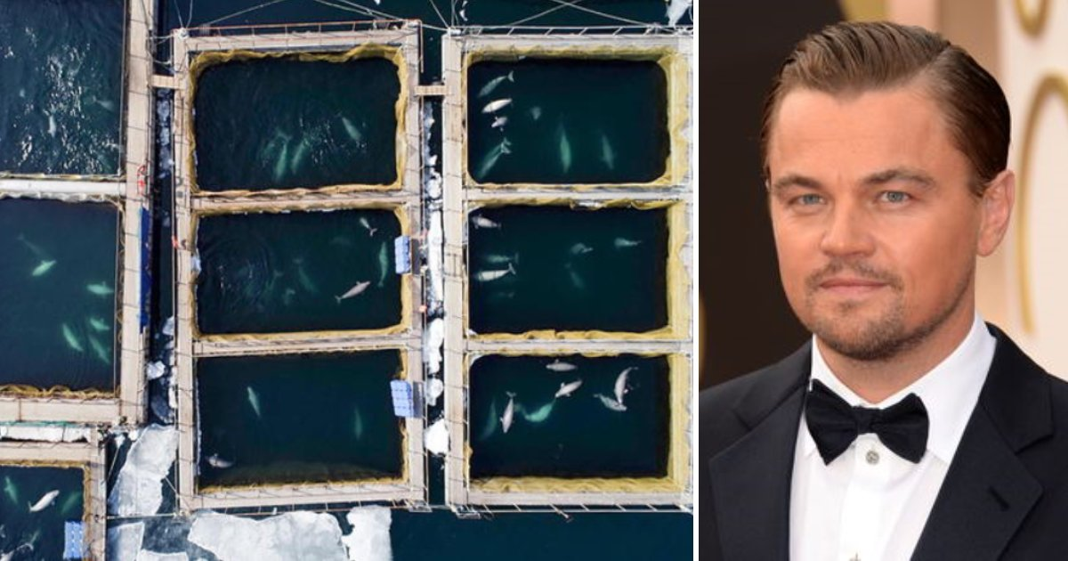 featured image 7.png?resize=1200,630 - Russia Orders Release Of 100 Whales Kept In Cages After Leonardo DiCaprio's Petition