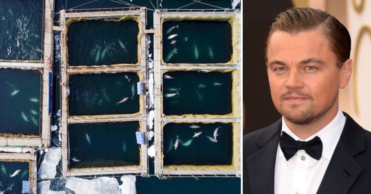 featured image 7.png?resize=412,232 - La Russie ordonne la libération de 100 baleines gardées dans des cages après la pétition de Leonardo DiCaprio