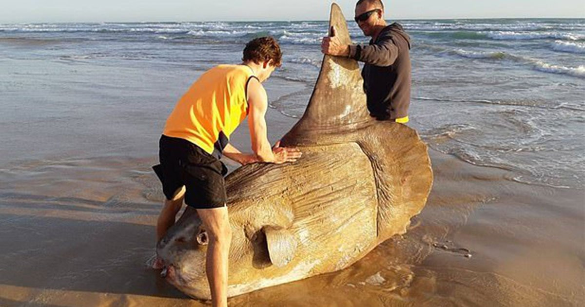 giant sunfish has been discovered off the coast of south australia by anglers.jpg?resize=412,232 - Giant Sunfish Discovered Off The Coast Of South Australia