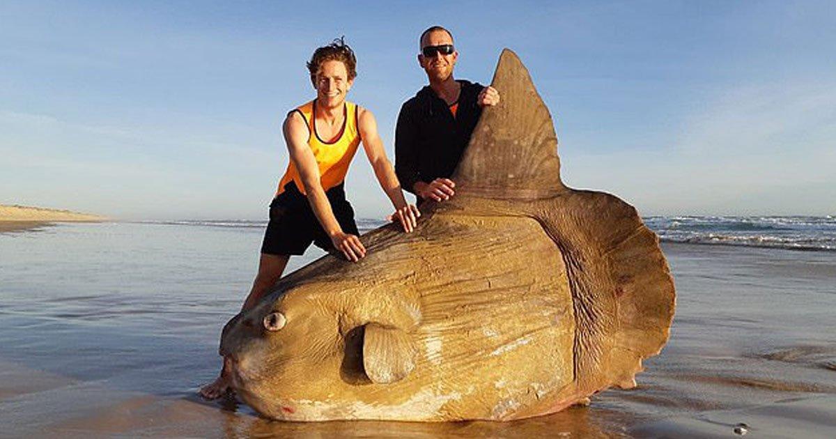 giant sunfish.jpg?resize=412,232 - Giant Sunfish Found On A Deserted Beach In Australia