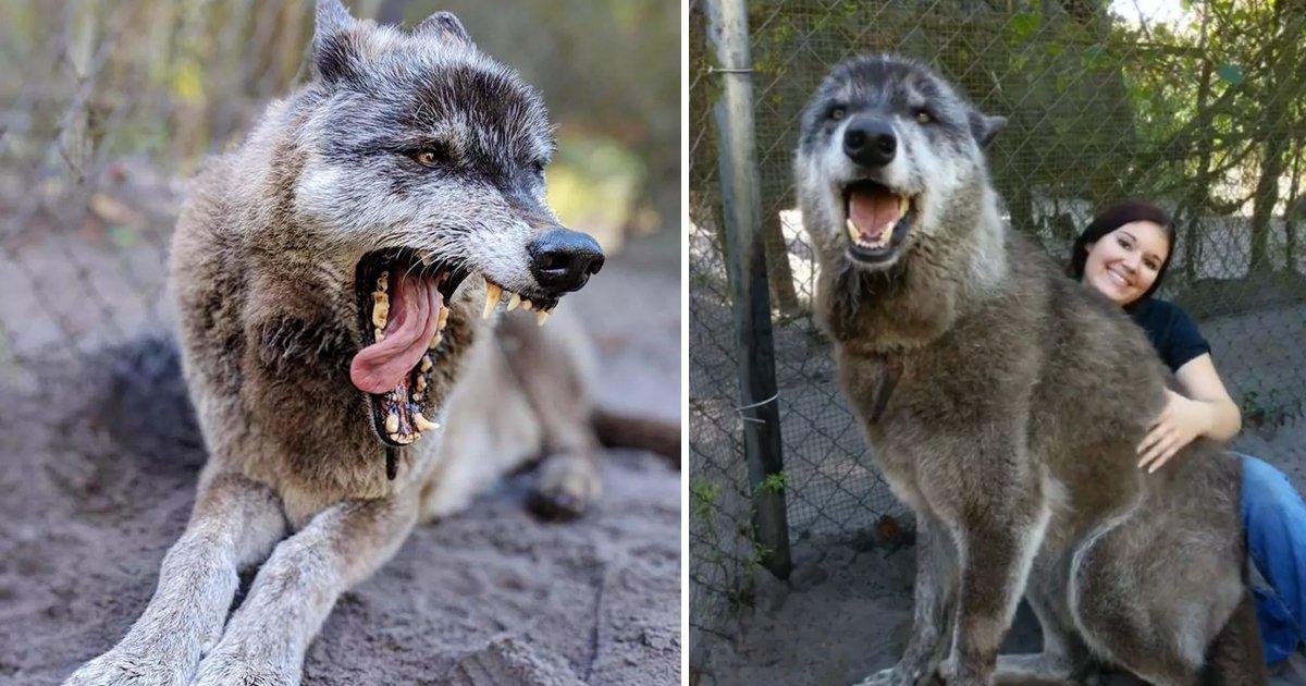 klkl.jpg?resize=1200,630 - Florida Animal Sanctuary Steps In To Save Giant Wolfdog After His Owner Dumps Him At A Shelter