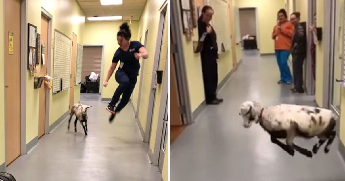 This Video Of A Sweet Lamb Dancing With A Vet Tech Will Make