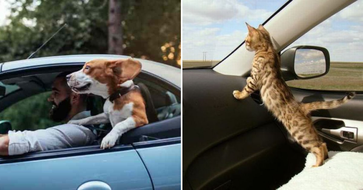 pets2.png?resize=1200,630 - Drivers Could Face A HEFTY Fine For Not Buckling Up Pets In the Car
