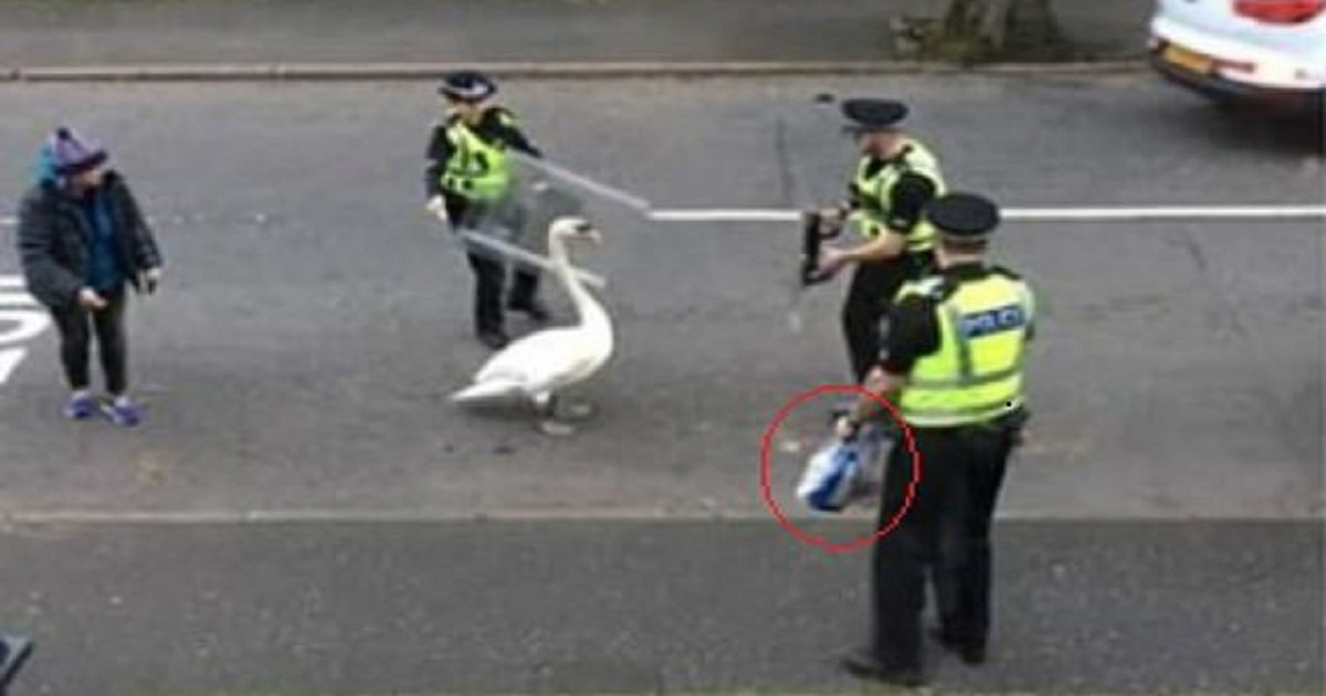 s3 6.jpg?resize=1200,630 - Police Failed To Herd A Swan Off The Street With Riot Shields But Had Better Luck Using Bread