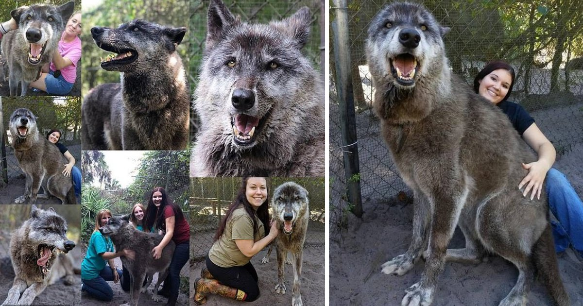 s3 9.png?resize=1200,630 - A Terminal Cancer Wolfdog Was Dumped By Its Owners And Then He Was Was Given a Home At A Special Sanctuary