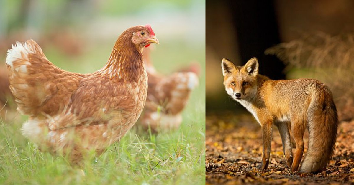 s4 9.png?resize=412,232 - Des poules se sont rassemblées et ont tué un renard à coups de bec