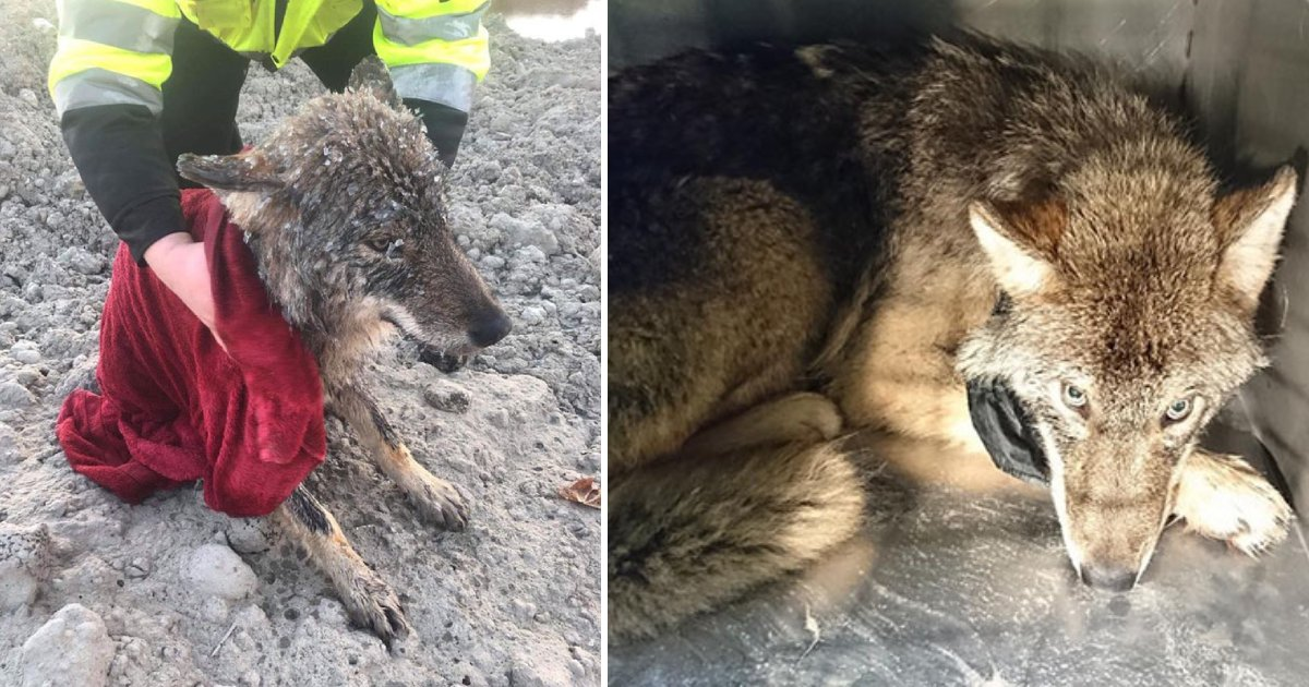 saved wolf.png?resize=1200,630 - Estonia Workers Thought They Rescued A 'Dog' From The Frozen Lake But Later Found Out That It Was A Wolf