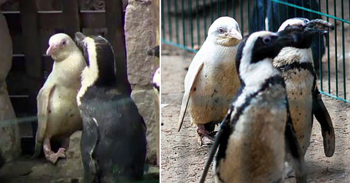 untitled 1 recovered.jpg?resize=1200,630 - Heartwarming Video Of A Rare Albino Penguin At A Zoo In Poland