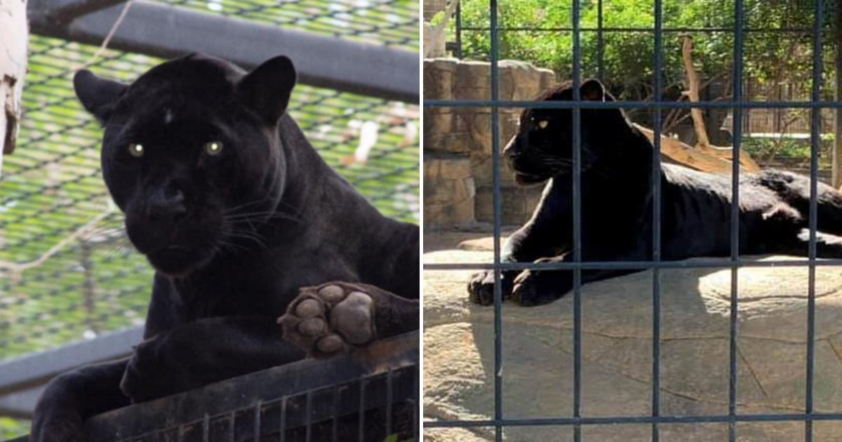 untitled design 31.png?resize=1200,630 - Woman Clawed By Jaguar After Climbing Into Enclosure Apologizes To Zoo