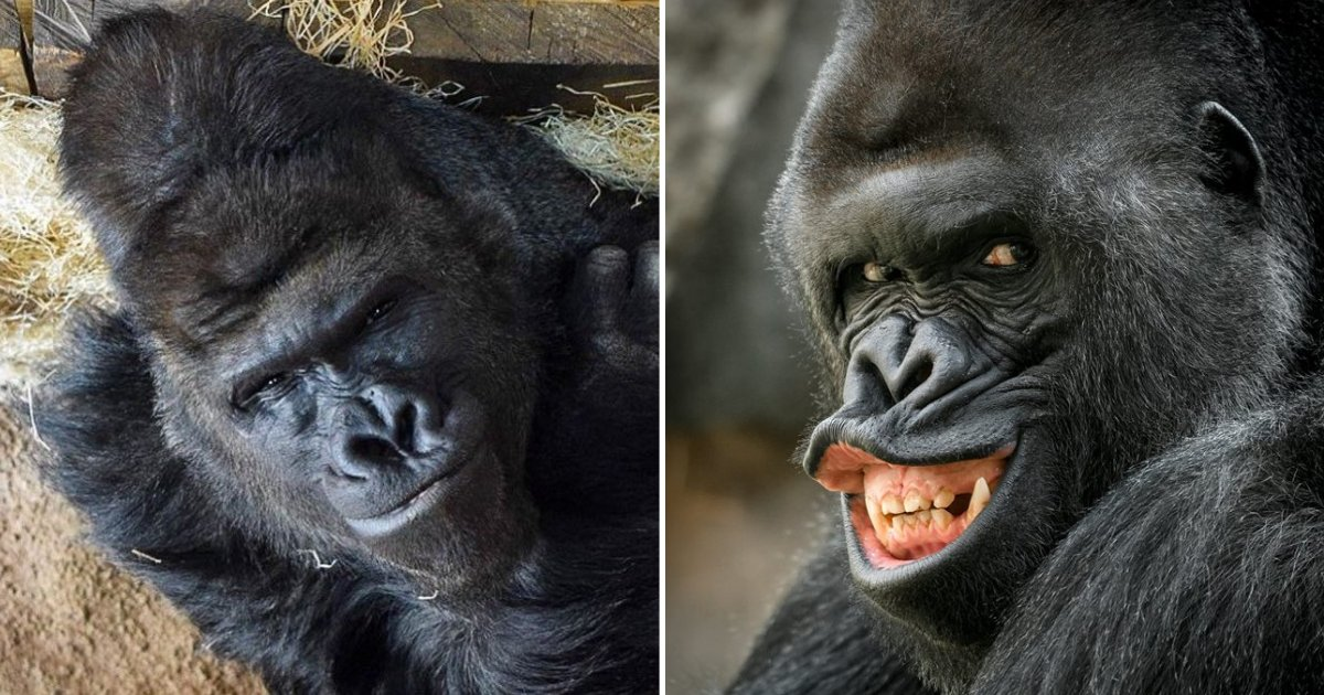 untitled design 55.png?resize=412,232 - Richard The Gorilla Never Gets Tired Of Posing In Front Of Zoo Visitors