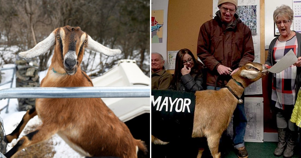 untitled design 56.png?resize=1200,630 - 3-Year-Old Lincoln The Goat Elected As The New Mayor Of A Small Town