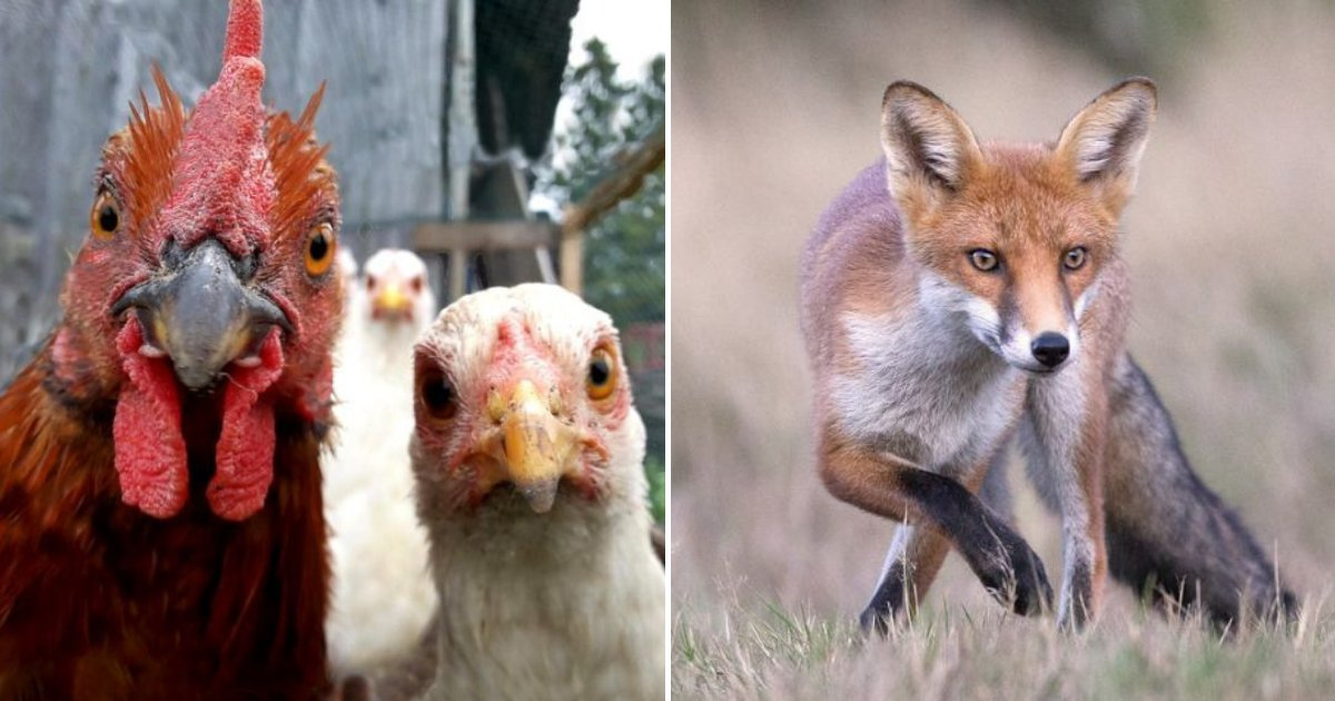 untitled design 60.png?resize=1200,630 - Chickens 'Gang Up' To Attack And Corner A Fox That Broke Into Their Coop