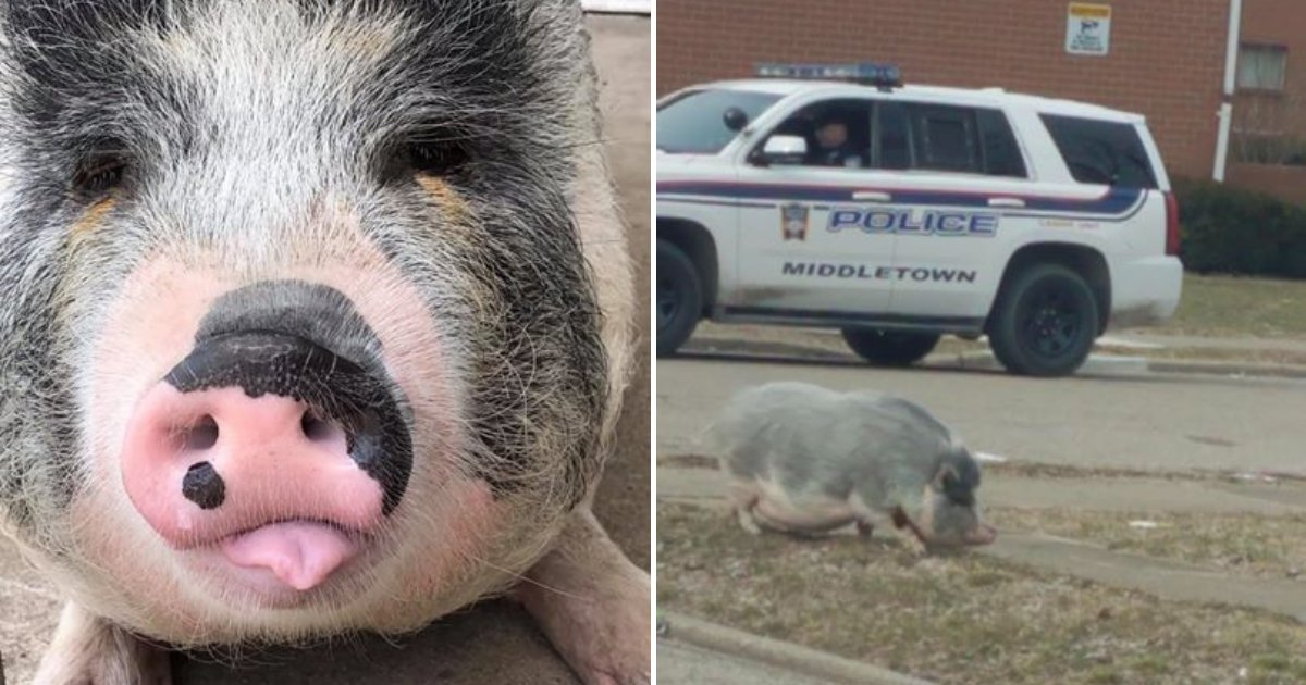 untitled design 98.png?resize=1200,630 - Owner And Cops Lure Runaway Pet Pig Home With 'Most Stuf' Oreos