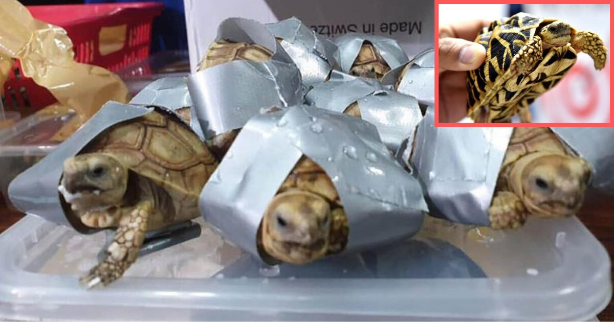 y1 2.png?resize=1200,630 - More Than 1500 Exotic Turtles Found Duct-Taped and Stuffed In Suitcases at Philippines Airport, Alive