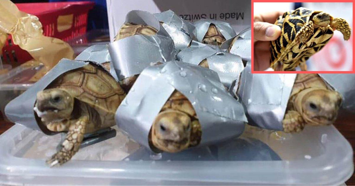 y1 2.png?resize=1200,630 - Plus de 1500 tortues exotiques vivantes ont été trouvées enroulées de ruban adhésif et fourrées dans des valises à un aéroport des Philippines