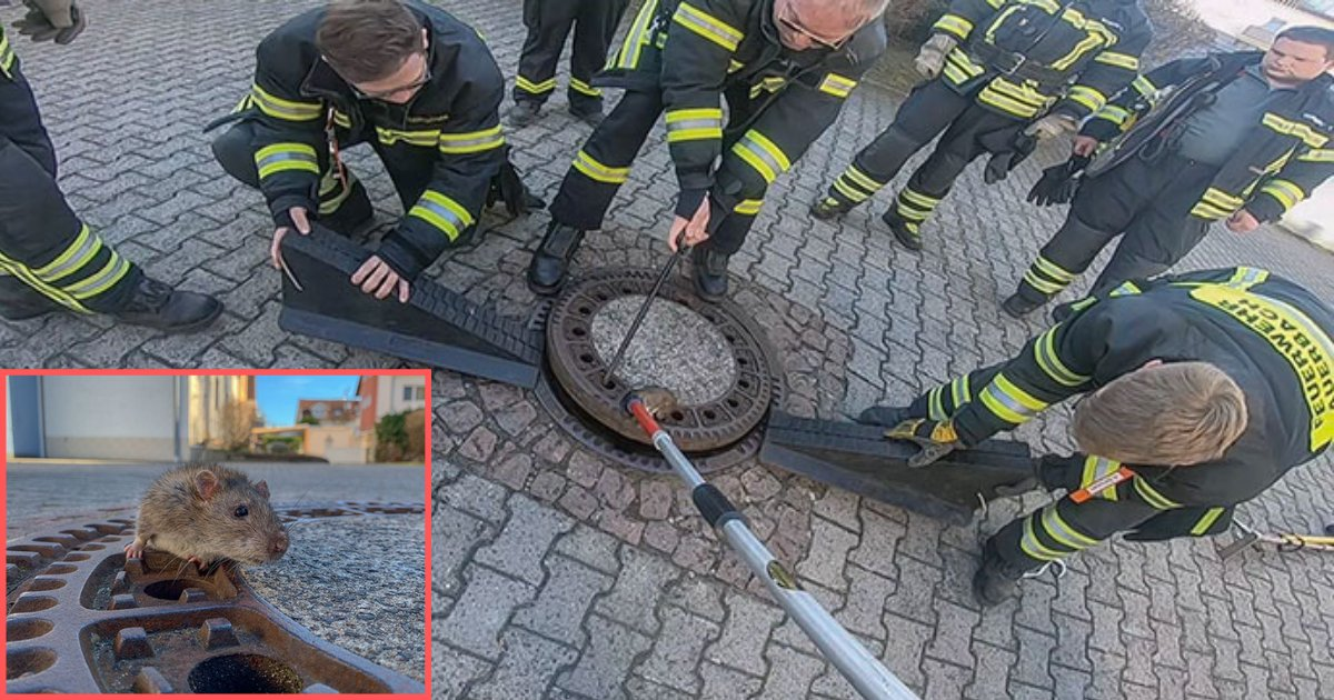 y4.png?resize=412,232 - The Internet Is Loving This Hilarious Rat Stuck In A Sewer Hole