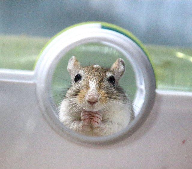 Cute gerbil