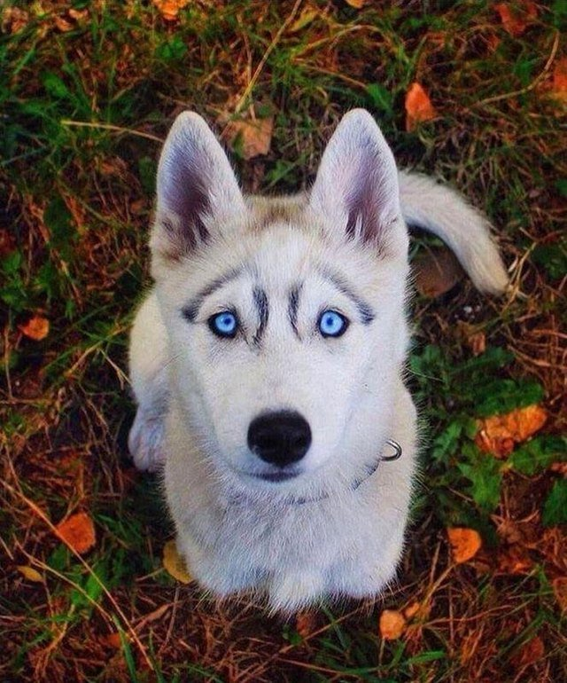 Husky looking directly into camera