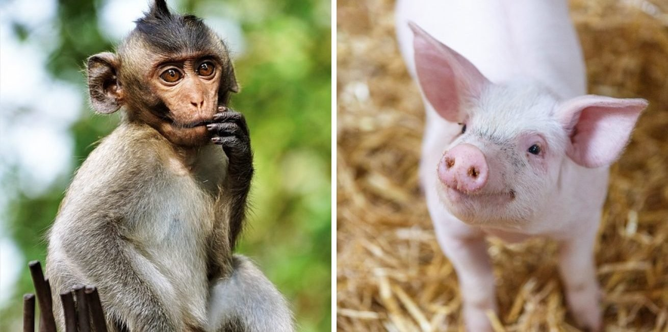 19314360 smiling pig 1463074462edc 1517139494 650 3e09e03ac7 1517607245 2 e1555057289973.jpg?resize=412,232 - 34 Handsome Animals Who Are Always Ready to Pose for the Camera