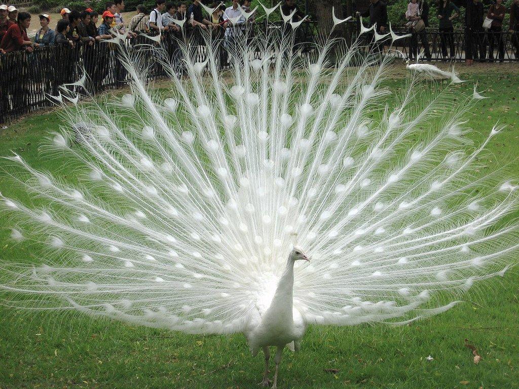 Resultado de imagen de pavo real albino