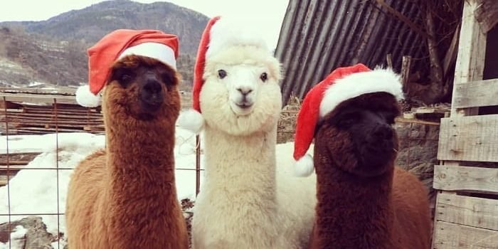 72 14 e1556441643523.jpg?resize=574,582 - 35 Photos Fluffy Pictures Of Alpacas That Will Make You Touch Your Screen