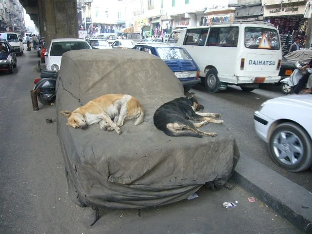 Two dogs sleep on hood of car.