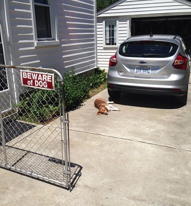 Dog sleeping next to Beware of Dog sign.