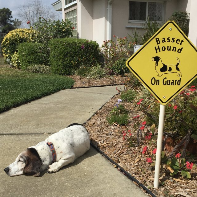 Dog sleeping next to guard dog sign.