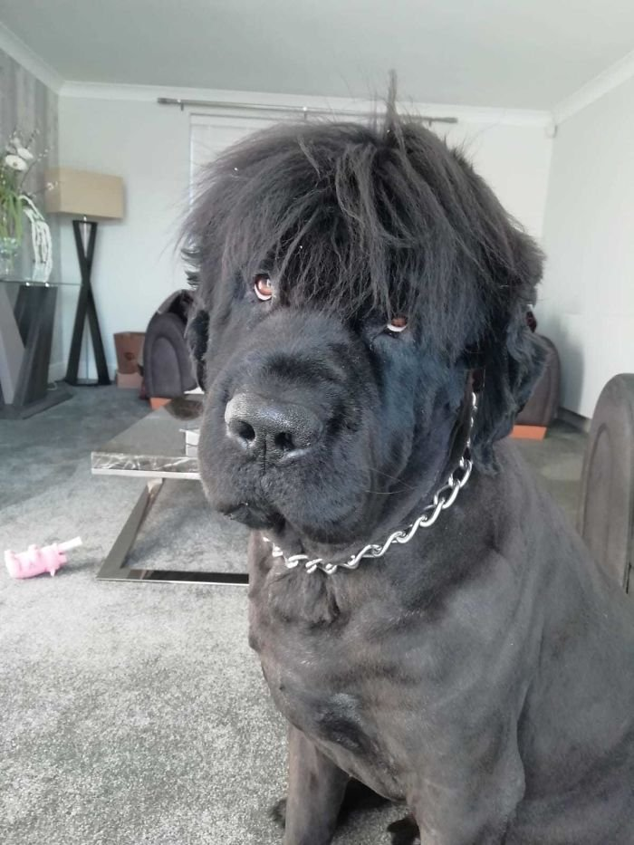Just Shaved My Newfoundland Look At His New Hair Style What A Dude