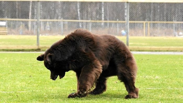 This Is A Newfoundland Dog. Not A Bear