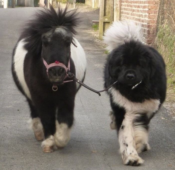 Just A Newfoundland Taking His Pony For A Walk