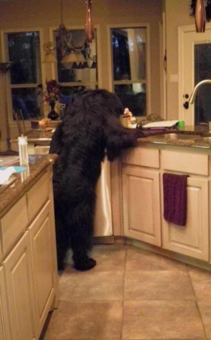 Thought A Bear Broke In. Nope, Just A Newfie