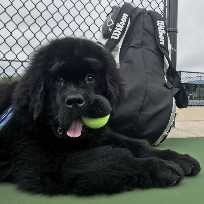 Ollie Likes To Come To Tennis Practice And Help Out