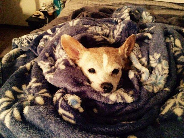 Dog in blanket