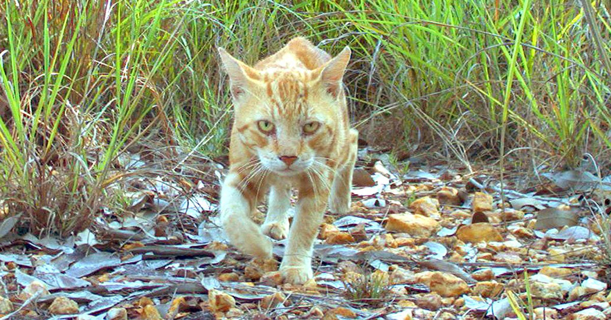 australia to kill cats.jpg?resize=1200,630 - Australian Government Is Planning To Get Rid Of Two Million Feral Cats By 2020