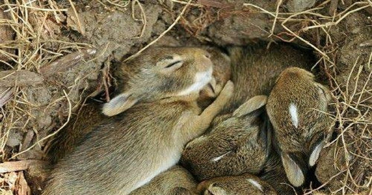 b3 4.jpg?resize=1200,630 - Here's What You Should Do If You Find A Nest Of Baby Bunnies