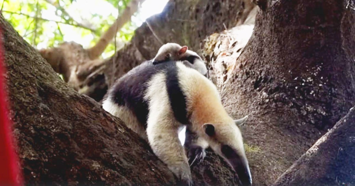 baby reunited mother.jpg?resize=412,232 - Mother Tamandua's Priceless Reaction After Being Reunited With Its Missing Baby