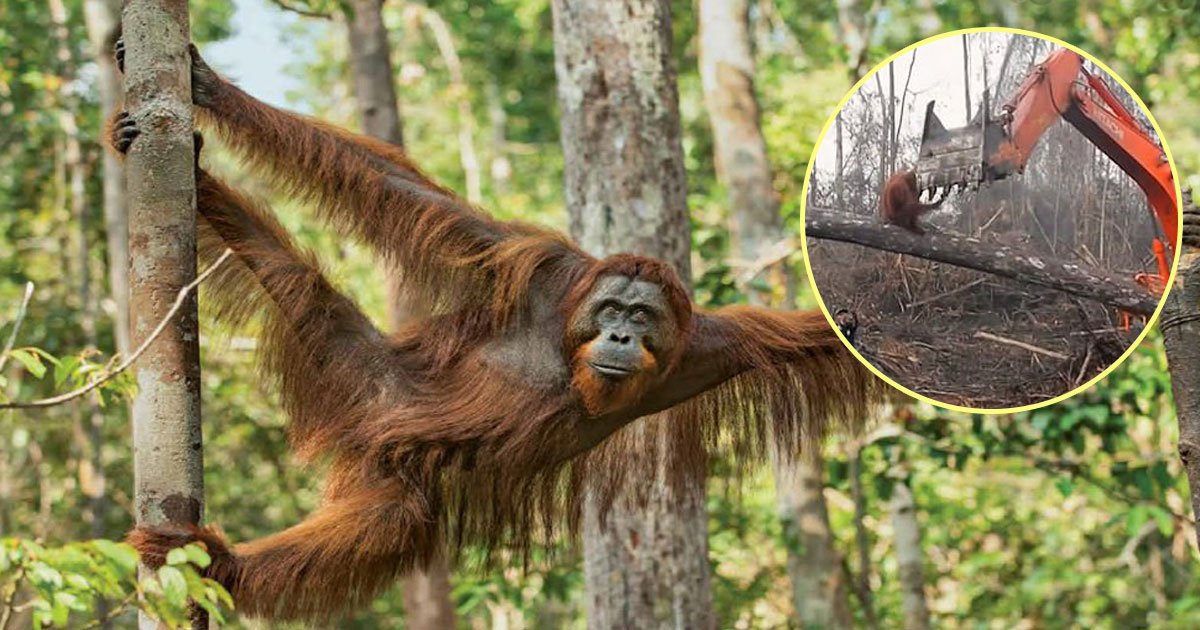bbc documentry.jpg?resize=1200,630 - Heartbreaking Video Of An Orangutan Trying To Stop A Bulldozer That Was Clearing Its Habitat For Palm Oil Plantation