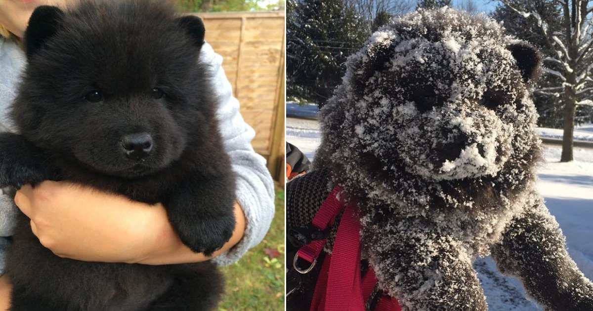 bear or dogs.png?resize=412,232 - 20+ Dogs Who Could Be Mistaken As Bears