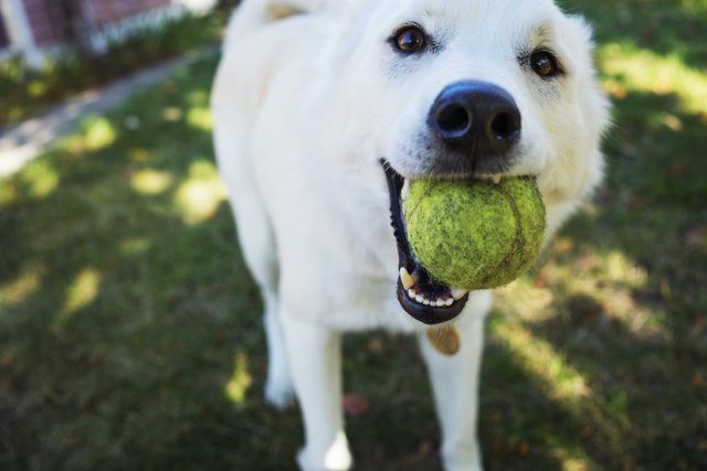 Portrait of white dog holding ball in mouth while standing in yard