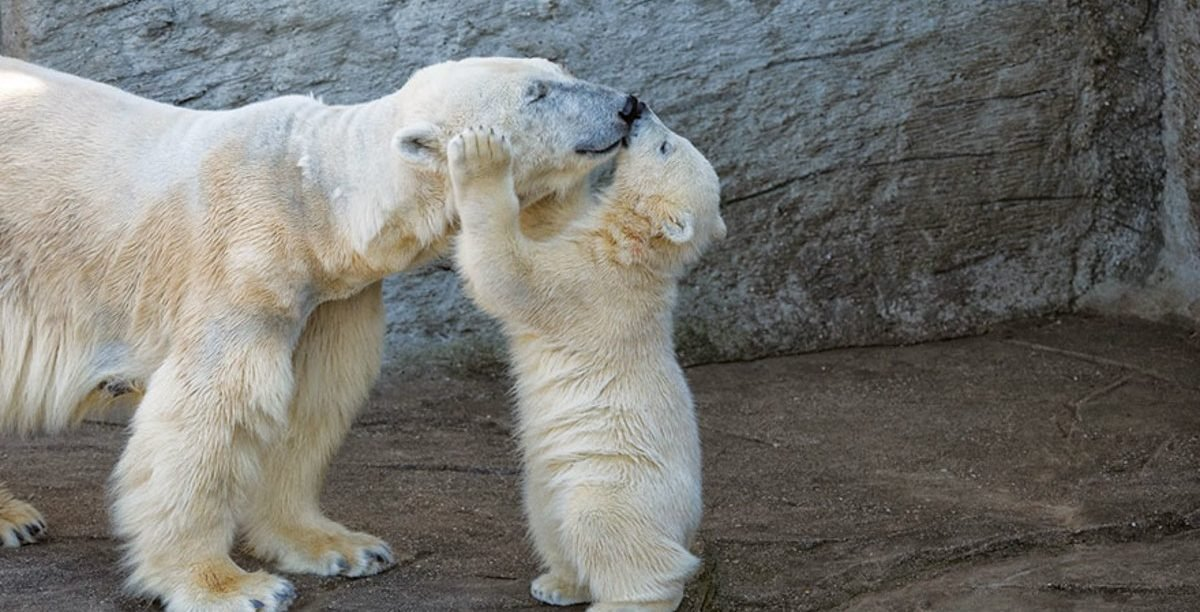 cute baby polar bear photos 4jpg e1554193069373.jpg?resize=412,232 - 20 Adorable Photos of Baby Polar Bears That Will Melt Your Heart