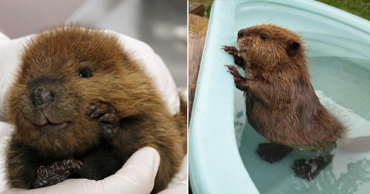 cute beavers.png?resize=1200,630 - 20 photos d'adorables bébés castors pour vous donner le sourire