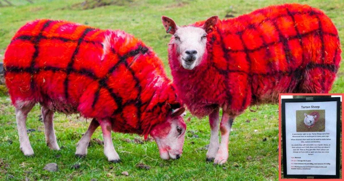 d1 17.png?resize=300,169 - Des moutons rouges pour impressionner les touristes Américains en Écosse