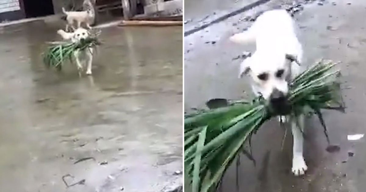 dog brings food buffalo.jpg?resize=1200,630 - Video Of A Dog Bringing A Bundle Of Grass For Its Hungry Buffalo Friend
